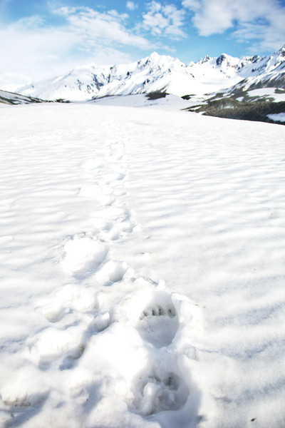 Grizzly Tracks