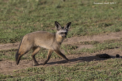 Jackals  and Bat Eared foxes