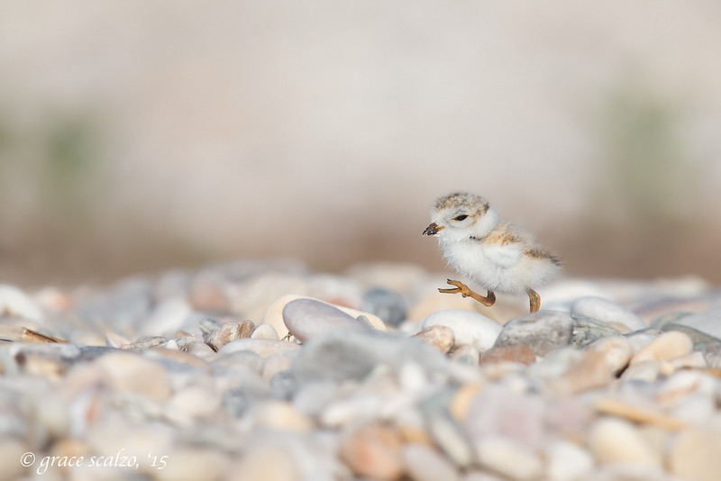 Piping Plover Chick Stepping out