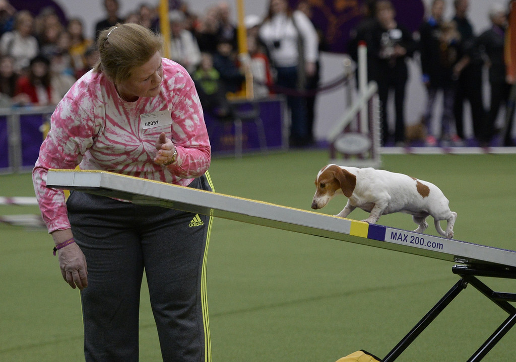 . A Spaniel in the Agility Ring during the first-ever Masters Agility Championship on February 7, 2014 in New York at the 138th Annual Westminster Kennel Club Dog Show. Dogs entered in the agility trial will be on hand to demonstrate skills required to negotiate some of the challenging obstacles that they will need to negotiate.      TIMOTHY A. CLARY/AFP/Getty Images
