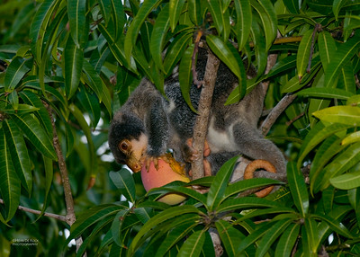 Souther Common Cuscus (Phalanger mimicus)