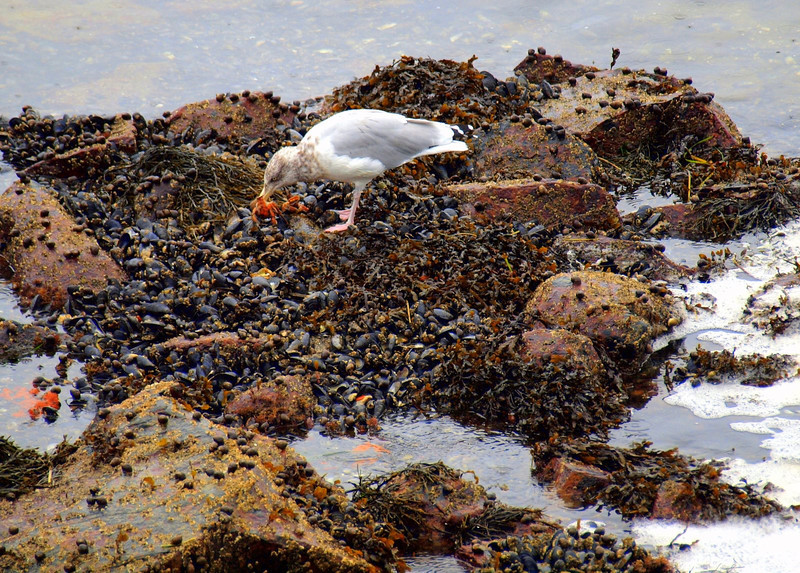 Sea gulls were diving for these crabs as the tide went out and then would beat them on the rocks and eat them!
