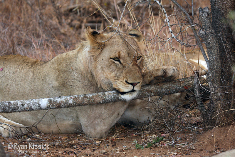 Lion resting on a long (and conveniently placed) branch