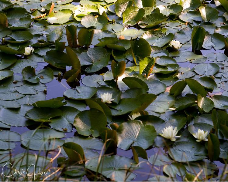 Hebo Lake Lilly Pads