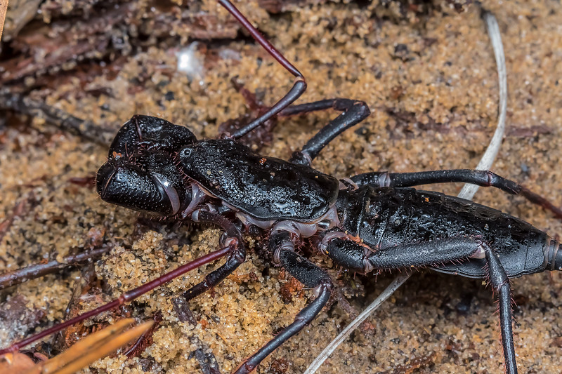 Florida giant whipscorpion
