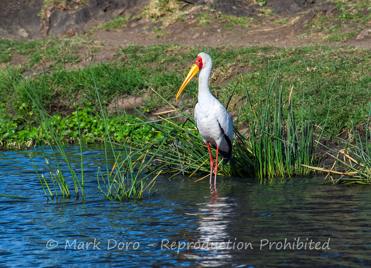 Yellow-billed Stork, Ngorongoro Crater, Tanzania