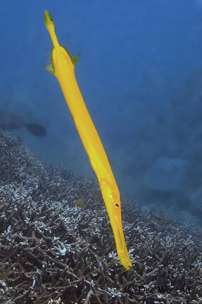 Yellow Trumpetfish.jpg