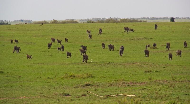 Olive Baboons, Massai Mara National Park