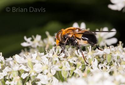 Flies, Album 2, (Diptera, Hoverflies)