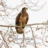 Juvenile Bald Eagles on Des Moines River