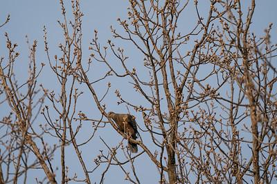 Oriental Turtle-Dove [Streptopelia orientalis]