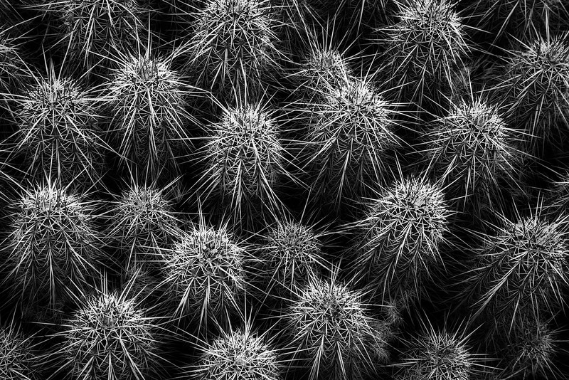 Sarah-Marino-Mojave-Hedgehog-Cactus-Black-White-1200px.jpg