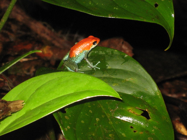 A small poison dart frog
