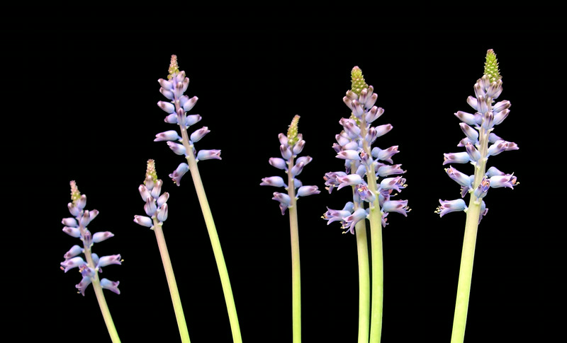 Lachenalia mediana blue form