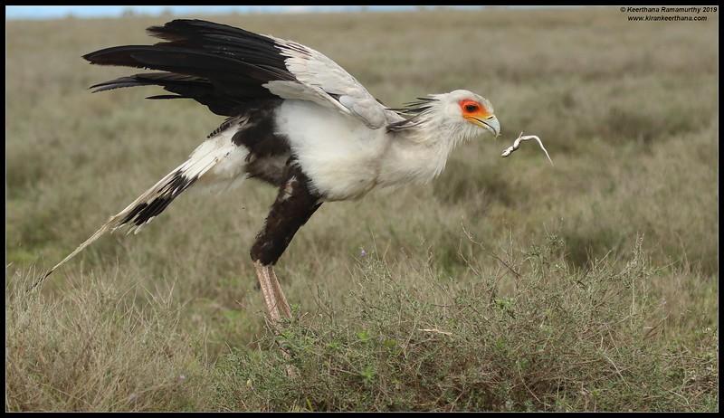 Secretary Bird catching the lizard, Serengeti National Park, Tanzania, November 2019