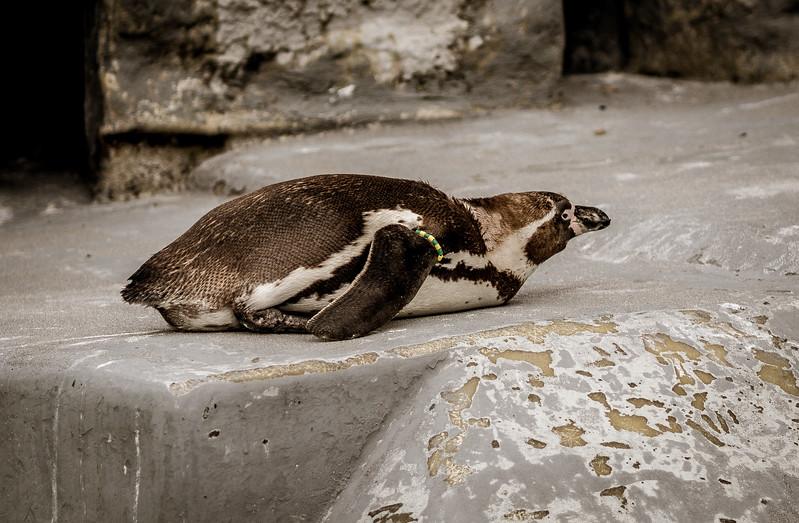 Penguin in Cologne Zoo