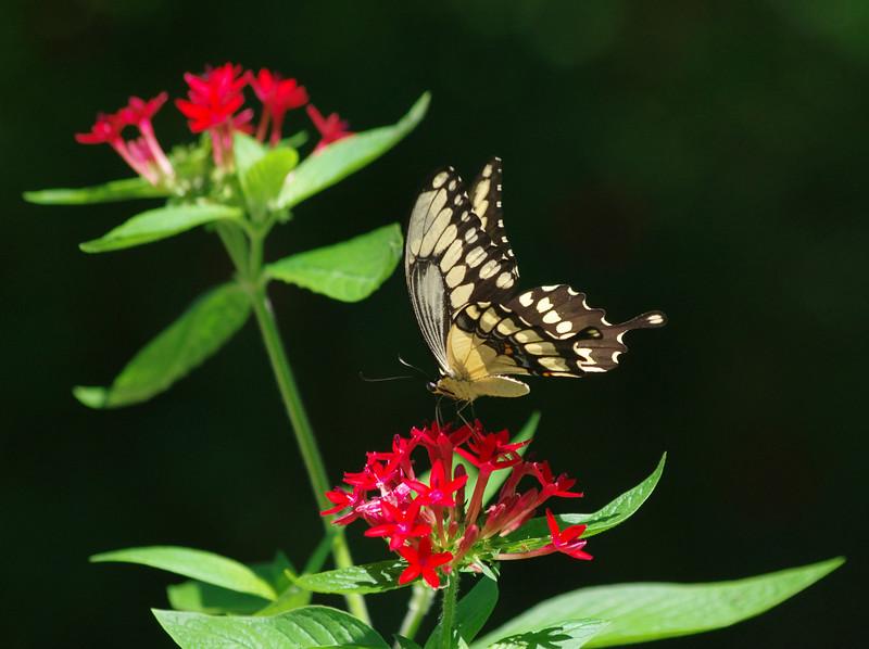 8_4_19 Yellow_Butterfly.jpg