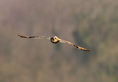 Short Eared Owls - Wyke Down 30 Mar 2012