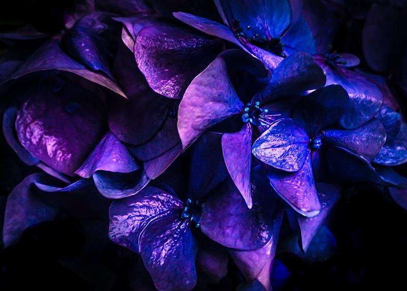 Hydragea super colour.tif