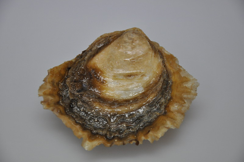 Close up of native flat oyster