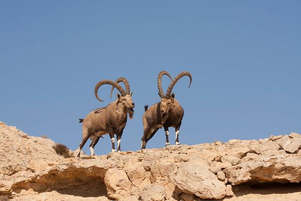 Ibex -יעלים