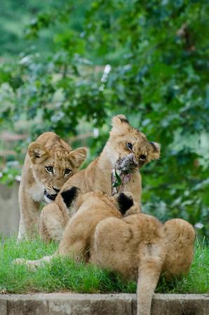 Lions 2014