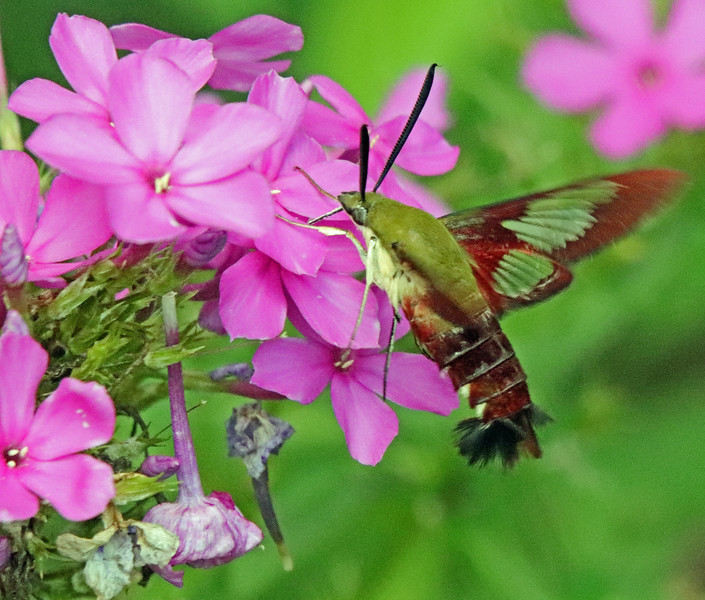 Hummingbird moth 43