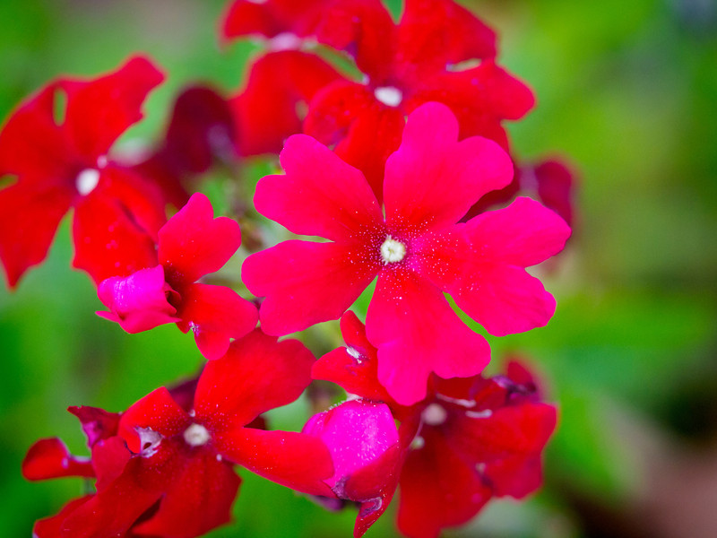 redflowers.jpg