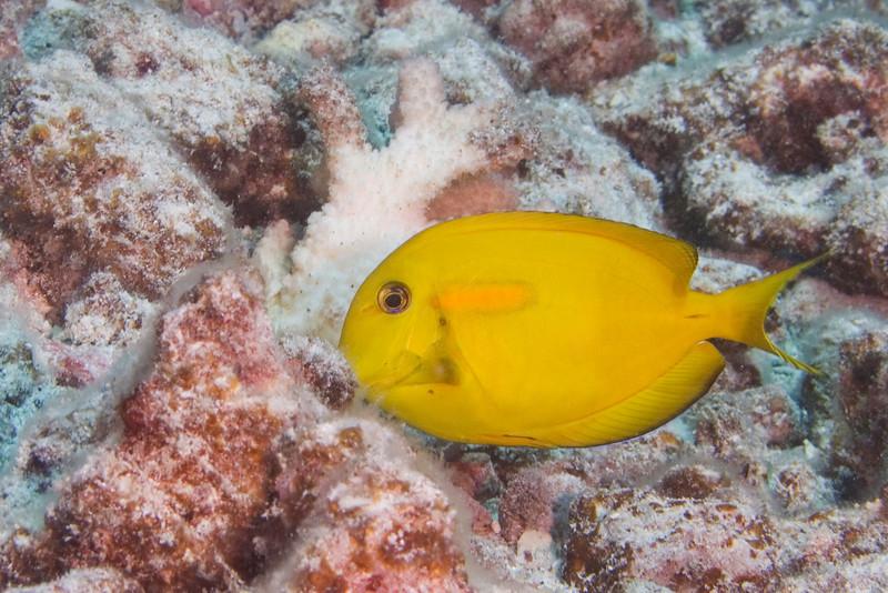 Orange Bar Surgeonfish Juv.jpg