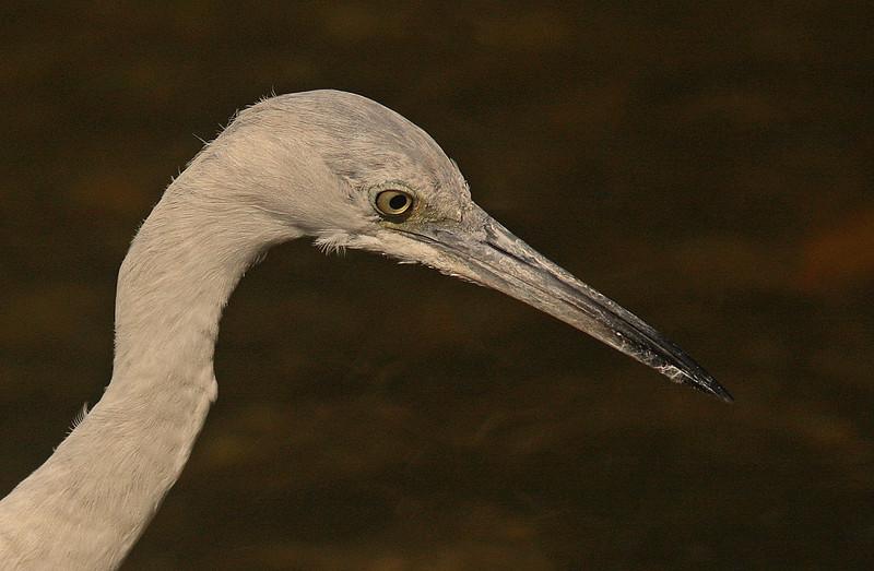 Immature Little Blue Heron, Ding Darling Refuge, Sanibel Florida