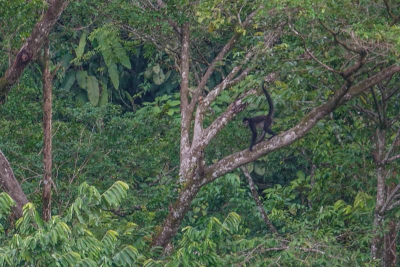 Spider Monkey, The Lodge at Pico Bonito