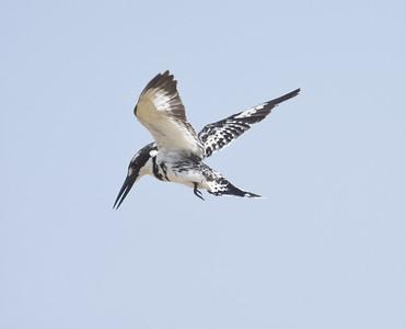 A 25 Kingfisher-Eisvögel