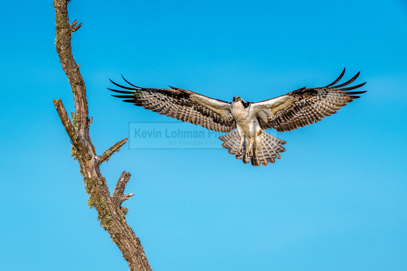 Osprey Spreads its Wings