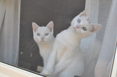 Cats Behind Window Screen