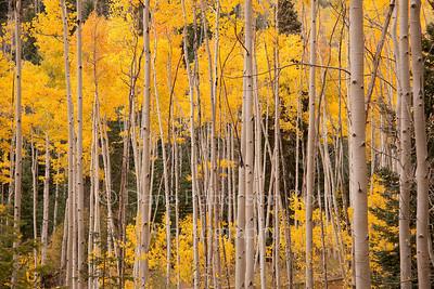 Aspen Autumn