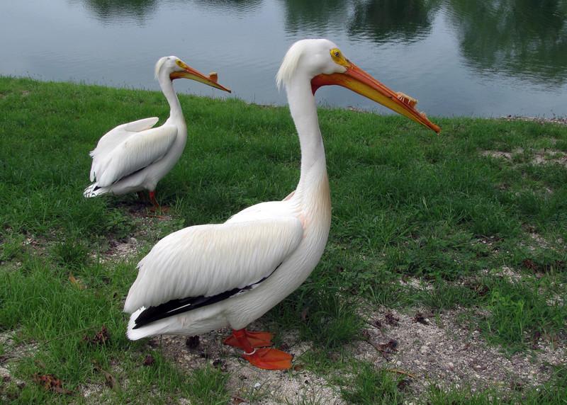 WHITE PELICANS - FLORIDA