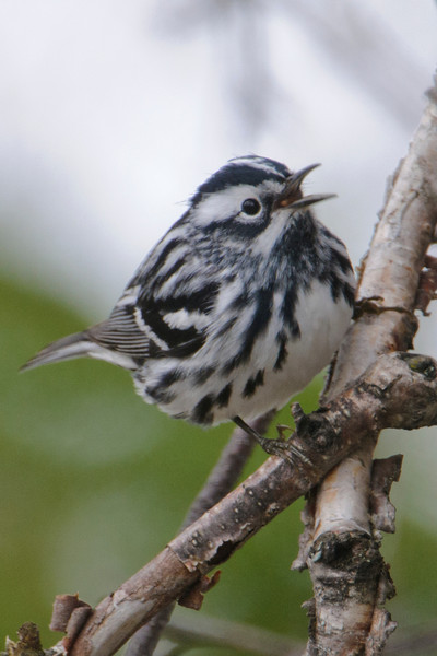 Warbler - Black and White - Palisade Head - Lake County - MN