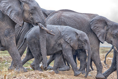 Elephants of Serenegti