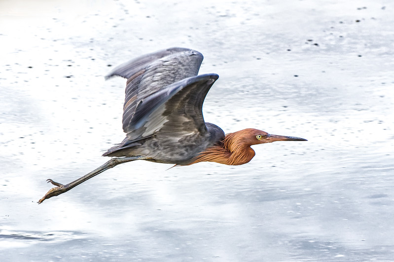 Reddish Egret in Flight.jpg