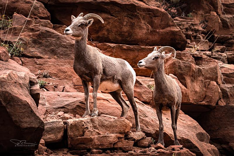 Bighorn Sheep, Zion