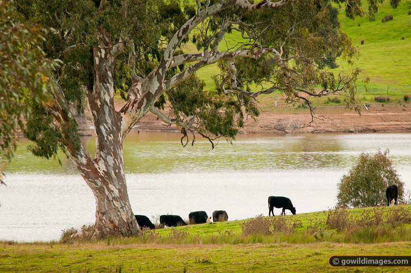 Cows grazing by the lake, under an old gum tree