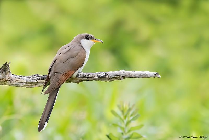 Yellow-billed Cuckoo, Coccyzus americanus