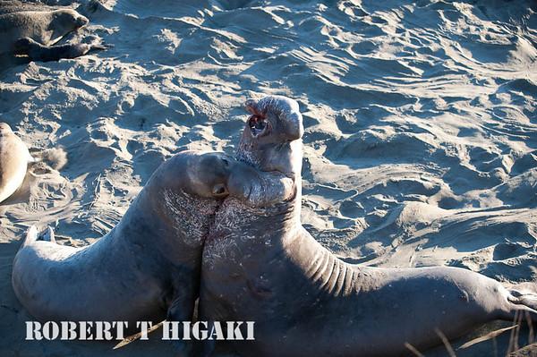 Elephant seals-Northern( Mirounga angustirostris)