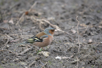 Chaffinch, Common (spp. coelebs)