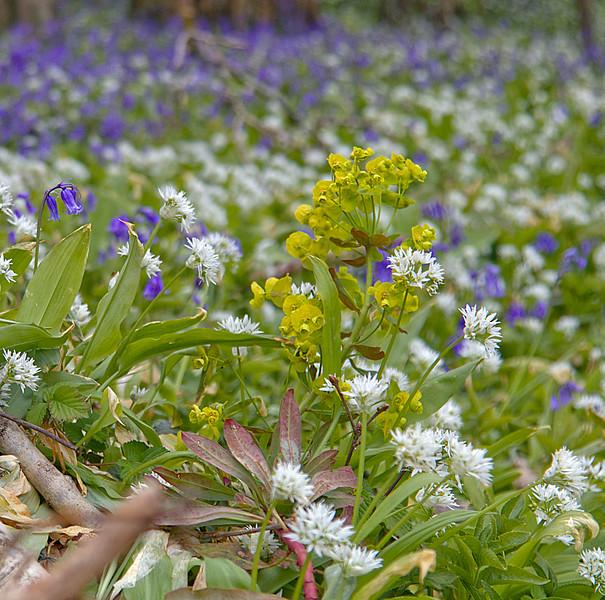 Anton - Spring Flowers