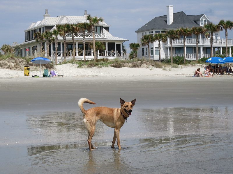 Marley, our Turks & Caicos Potcake, on the beach on IOP