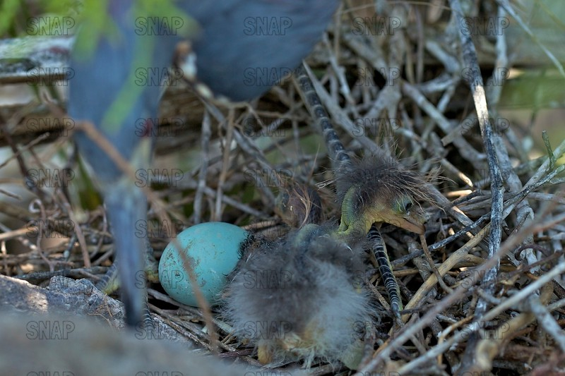 Tricolored Heron Hatchling