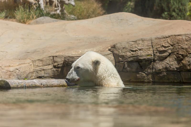 polar bear (19 of 50).jpg