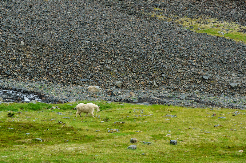A mountain goat, unfazed by our presence, hangs out near the summit of Crow Pass outside Girdwood, Alaska.