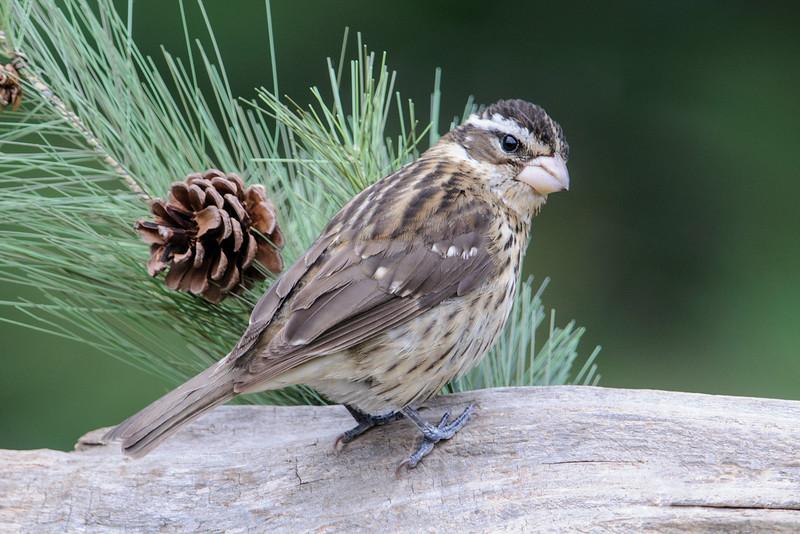 Grosbeak - Rose-breasted - female - Dunning Lake - Itasca County, MN